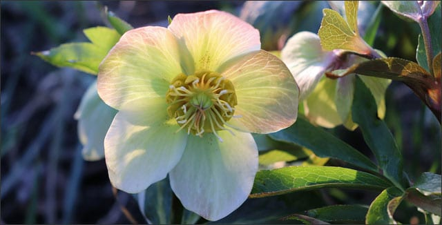 Hellebore - also known as Lenten Rose