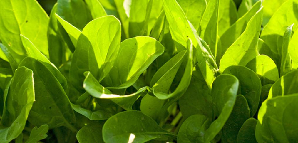 Backyard Gardening - How to Grow Spinach