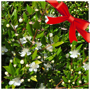 Myrtus - Also known as a true myrtle