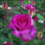 Organically Fertilize Rose Garden