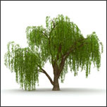 Willow Tree for climbing
