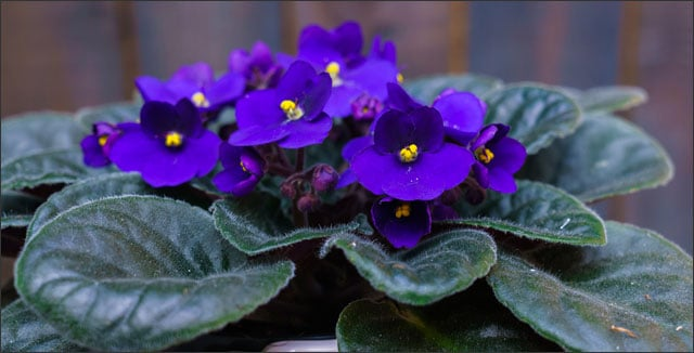African violet low-maintenance plant