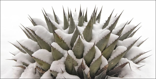 Cold Tolerant Desert Plants: agave in the snow