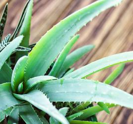 Aloe vera plant - easy care plant