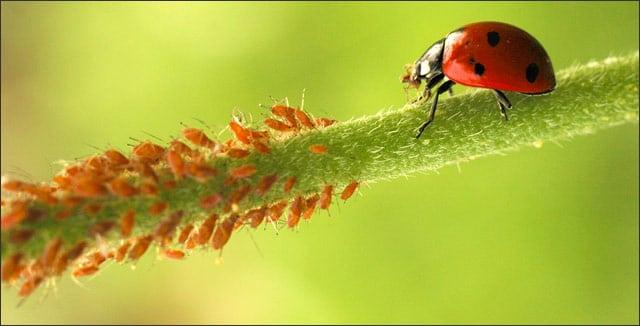 Aphids and ladybug