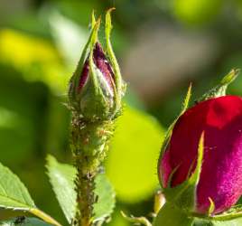 Aphids on rosebud