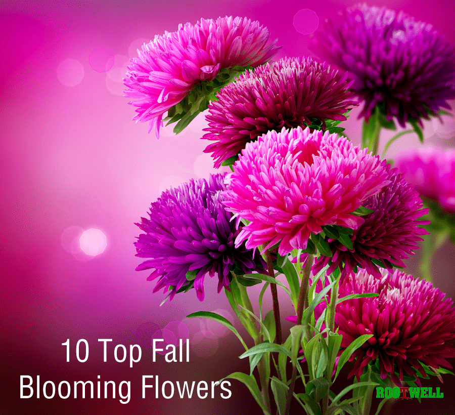 10 Of The Top Fall Blooming Flowers Aster