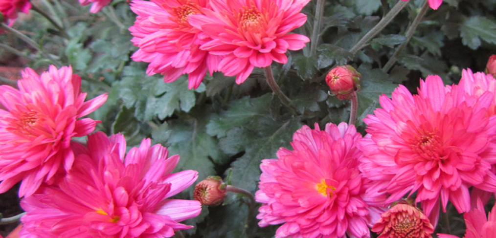 Asters – How to Plant this Easy To Grow Perennial