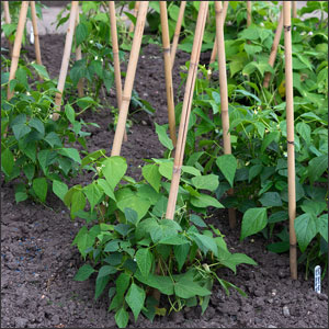 Beans growing on poles
