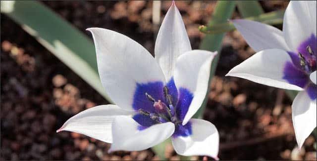 Blue-Eyed Tulip