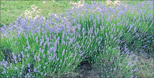 Bluebeard shrubs