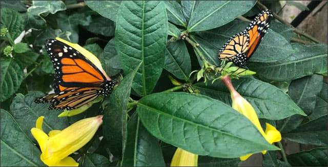 Butterflies in indoor garden on Mackinac Island
