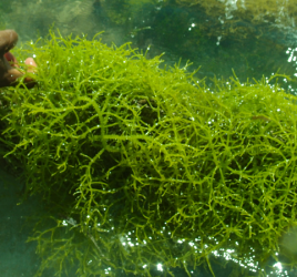 Carrageenan being harvested