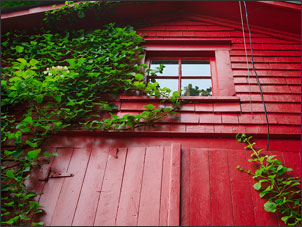 Climbing hydrangea growing up the side of a red barn.
