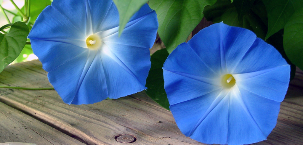Morning glory climbing plants