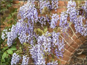 Wisteria - climbing plants