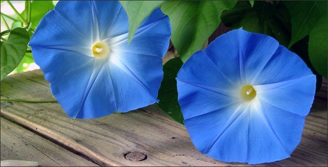 Climbing plants - morning glory