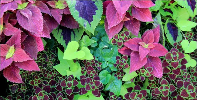 Colorful varities of coleus