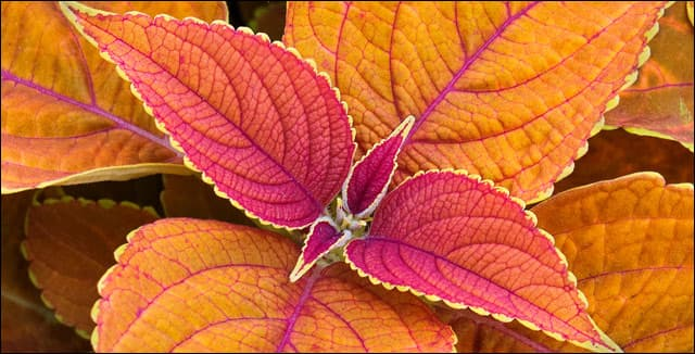 Coleus - bright orange and red.
