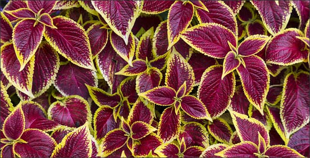 Multicolored foliage of Coleus plants