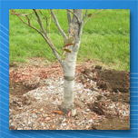 How to help trees grow in compacted soil