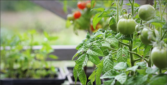 Container gardening - tomatoes