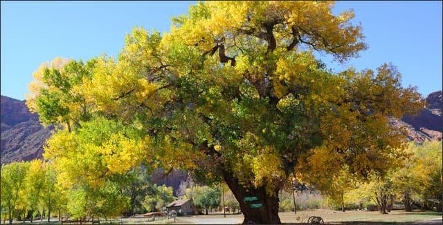 Cottenwood tree