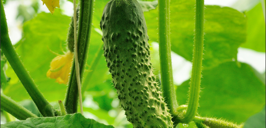 How to Grow Perfectly Mouth Watering Cucumbers