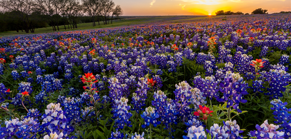 Wildflower Meadows in Texas