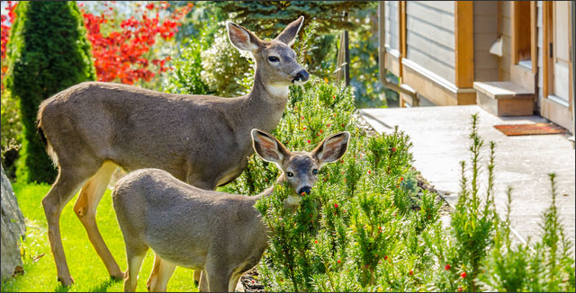Deer in yard depicting how to deer-proof your garden