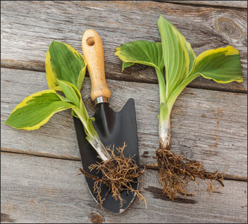Dividing or propagating hostas