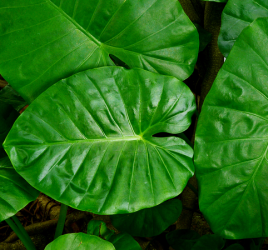 Elephant ears (Colocasia) plant
