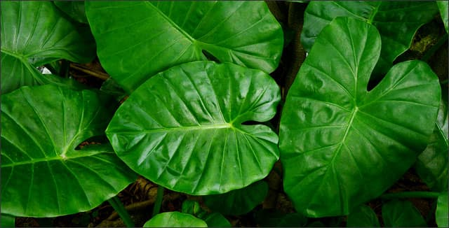 Elephant Ears Exotic Leafy Plants To Grow Indoors Or Out
