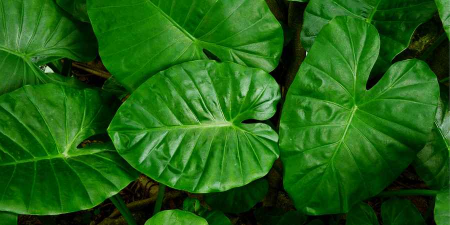 Elephant Ears Exotic Leafy Plants To Grow Indoors Or Out 26 transparent png illustrations and cipart matching elephant ear. elephant ears exotic leafy plants to