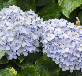 Flowering shrubs - endless summer hydrangea