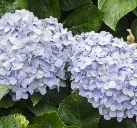 Flowering shrubs - endless summer hydrangea