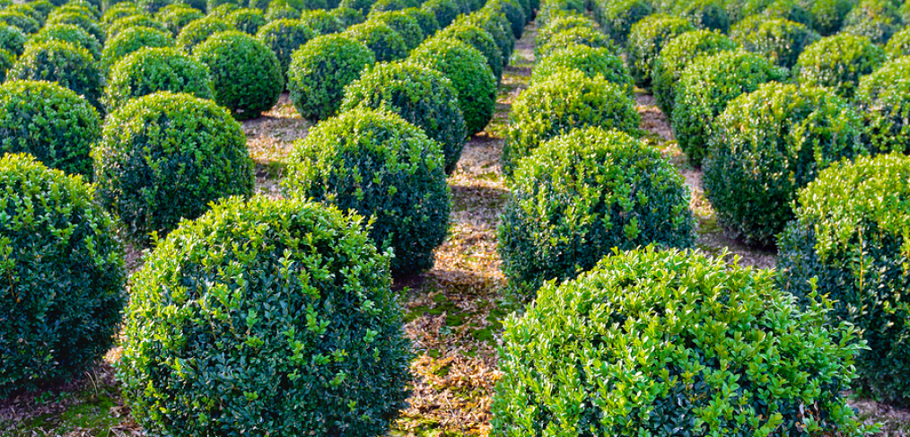 Boxwood evergreen shrubs