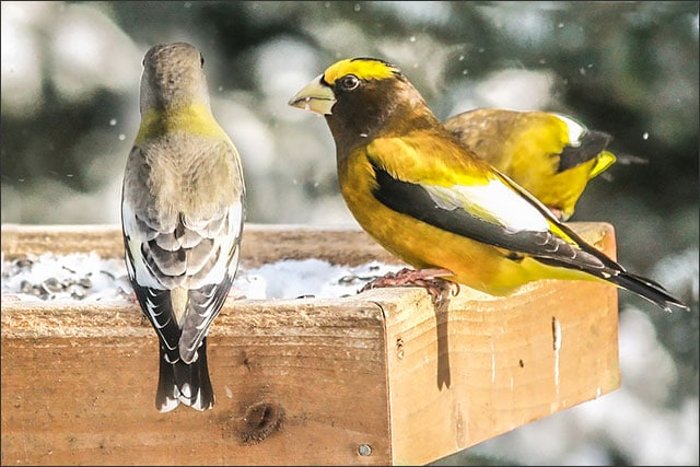 Female and male evening grosbeaks