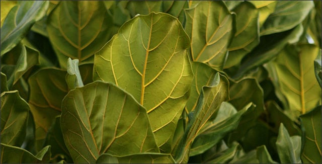 Fiddle Leaf Fig (Ficus Lyrata) leaves