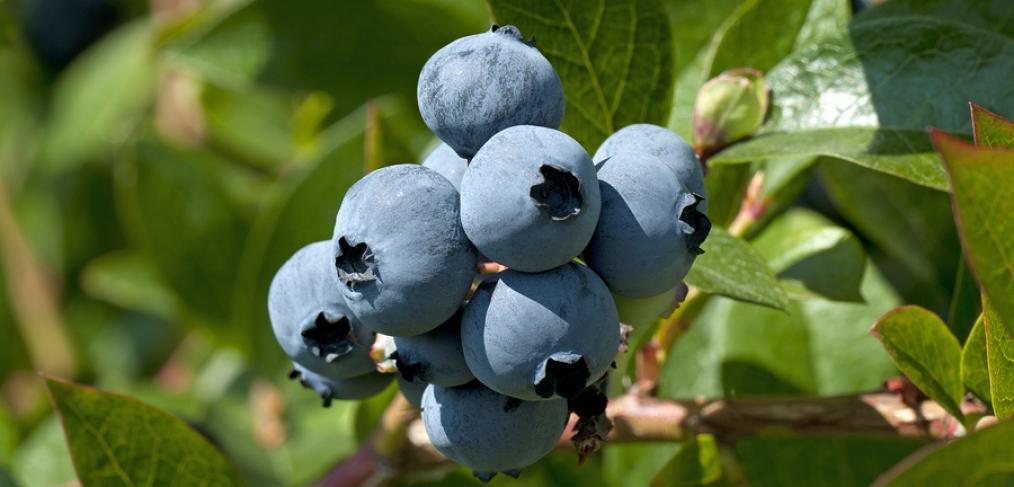 Foraging wild bluberries