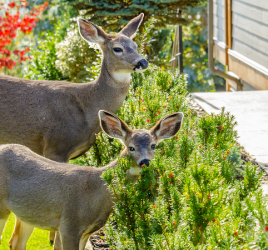 How to Make Your Garden Deer Proof