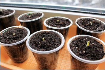 Tomato seeds germinating in containers