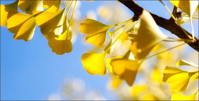 5 Tips on Planting Gingko Trees