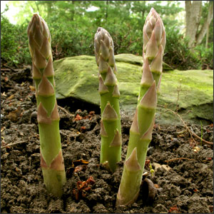 How to Plant Asparagus in 3 Easy Steps