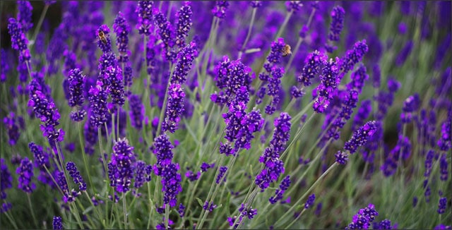How to grow lavender tips