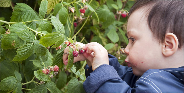 Comprehensive Guide on Growing Organic Raspberries