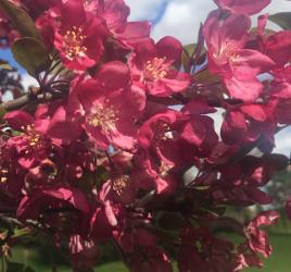 Flourishing flowering crab depicting 3 Basics Your Growing Tree Needs