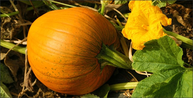 How to Harvest Pumpkins for Best Results