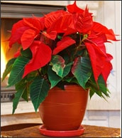 Holiday plant potted poinsettias