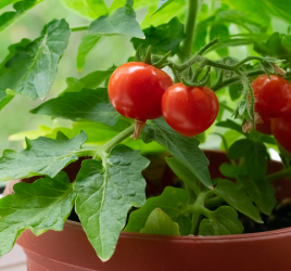 Home gardening method - growing tomatoes on window sill.